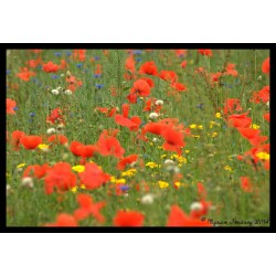 Coquelicot - Sirop
