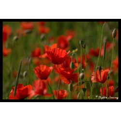 Coquelicot menthe - Sirop