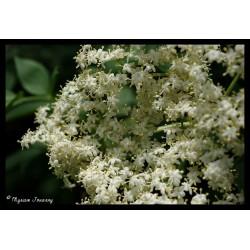 Fleur de sureau - Sirop
