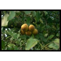 Poire de fisée oignon - Chutney