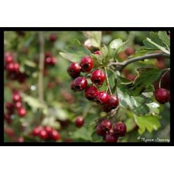 Cenelle prunelle oignon